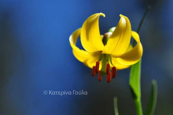 Lilium-albanicum-2.jpg