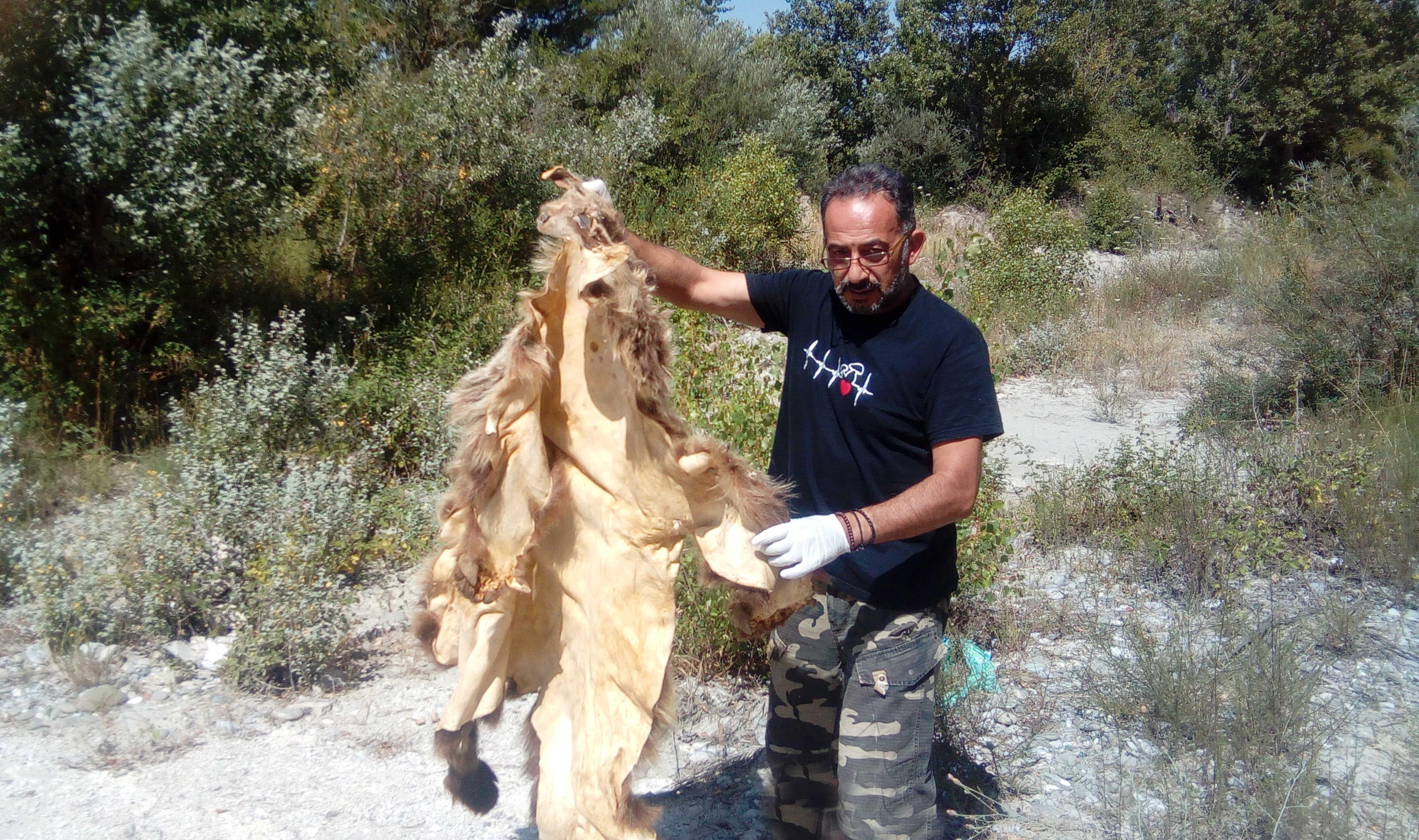 Η Ομάδα Άμεσης Επέμβασης του ΑΡΚΤΟΥΡΟΥ βρήκε κατεργασμένο δέρμα αρκούδας | ΑΡΚΤΟΥΡΟΣ